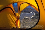 Wolf From Tent