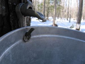 Maple Tree Sap