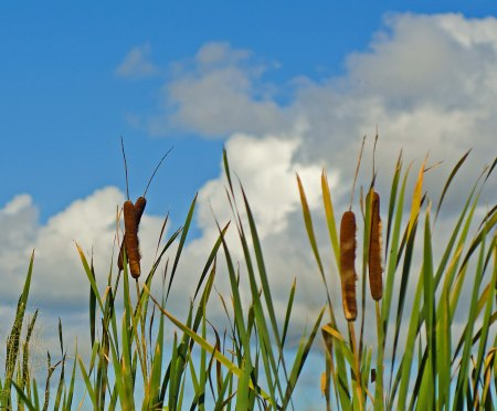 Cat Tails, North Grand Pre, Nova Scotia
