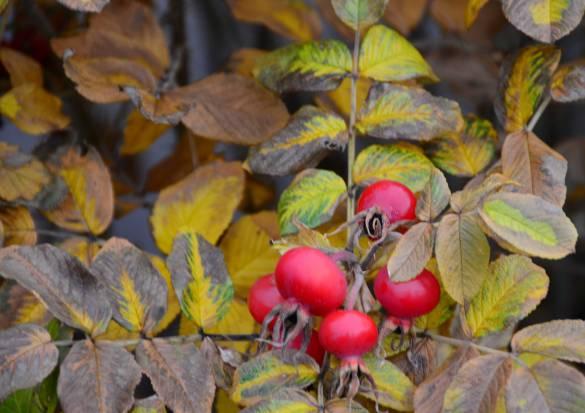 Red Berries, Campobello Island, N.B.