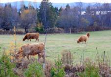 Long-haired Cows on the way to St. Andrews By the Sea, N.B.