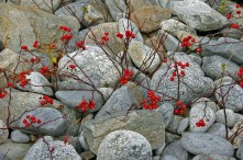 Red Sprigs Among the Rocks, Kejimkujik Seaside, N.S.