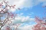 Peach Blossoms Against Cloudy Sky, Wolfville, N.S.